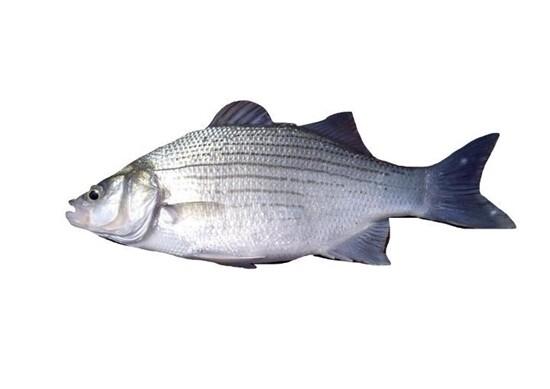 Fresh White Perch  新鮮白鲈鱼(1.8-2.1LB)