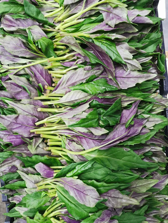 紫背菜(Gynura Bicoloi)