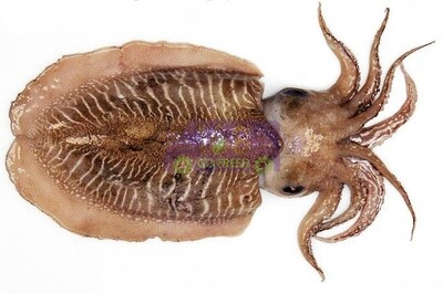 Cuttlefish Skin 新鲜带皮墨鱼(1.7-1.9LB)