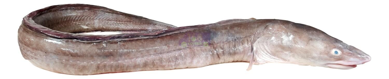 SEA EEL 新鲜海鳗鱼(切一份) 2.8-3LB