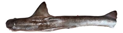 Shark 新鲜河鲨肉
