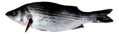 Wild Striped Bass 新鲜野生海鲈鱼(1.8-2LB)