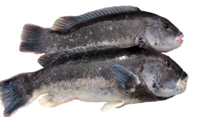 Live Tautog Fish(One Count) 游水活黑石斑鱼一条