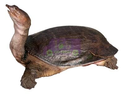 Soft Shell Turtle 活甲鱼(可选清理)