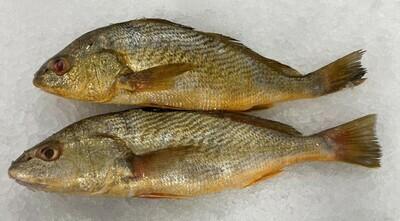Fresh Yellow Croaker(1 Count) (鱼)新鲜黄花鱼(一条) 1.2-1.3LB