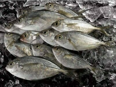 Butter Fish 小鲳鱼