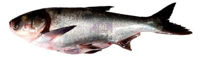 Silver carp (整条)白鲢鱼(去鳞去肚) 6.5-7.5LB