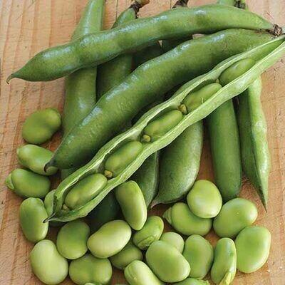 Habas Beans 新鲜蚕豆夹 1.4-1.6 LB