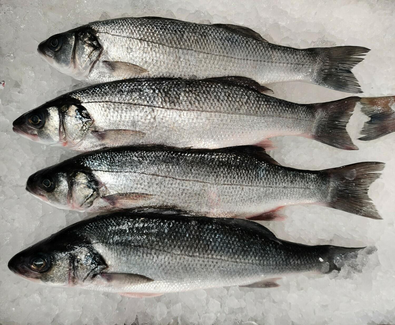 Bronzini European Seabass 欧洲海鲈鱼1.5- 1.7LB