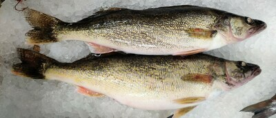PIKE FISH 批鱼 清理前约3.2LB