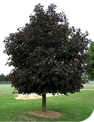 Tree and Shrub Programs-Call 716-692-4433 for Quote