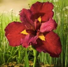 Iris ann chowing röd