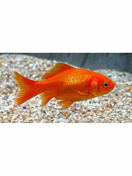Röd Guldfisk 4-7 cm