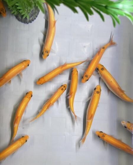 Guldid 18-22  cm