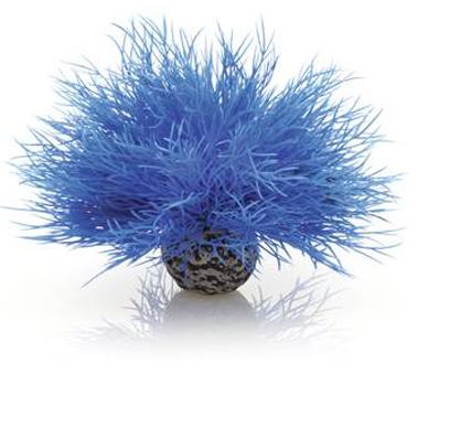 Havslilja Blå
