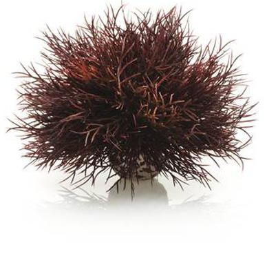 Havslilja Mörkröd