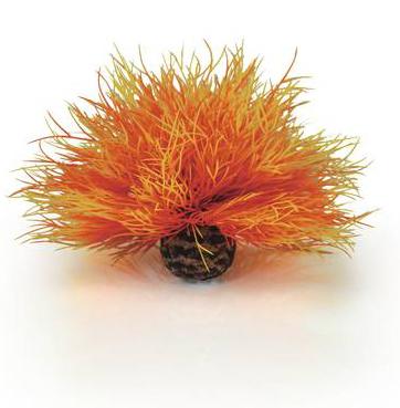 Havslilja Orange