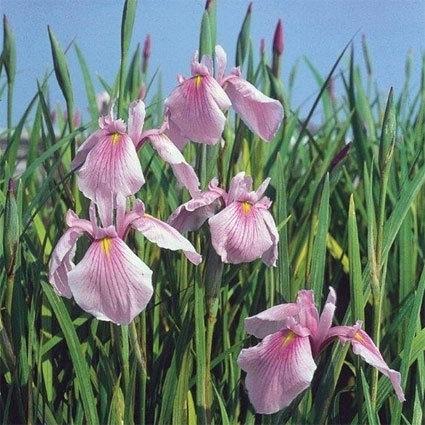Sumpväxt Iris Laevigata Rose Queen