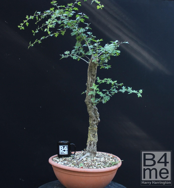 Crataegus Monogyna Hawthorn Yamadori Bonsai