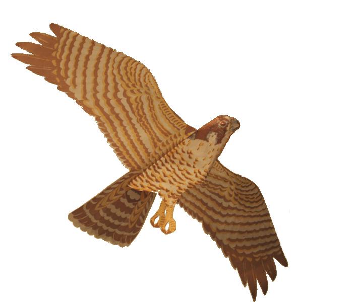 Peregrine Falcon Assembled