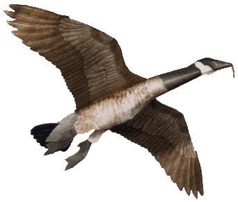 Canada Goose Assembled