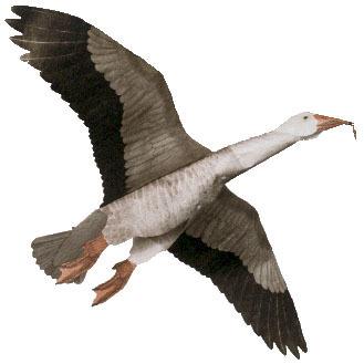 Blue Goose Assembled
