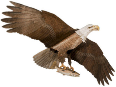 American Bald Eagle Unassembled