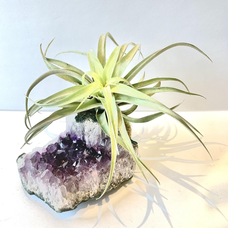 LIMELIGHT Amethyst Crystal x Air Plant Tillandsia Harrissi