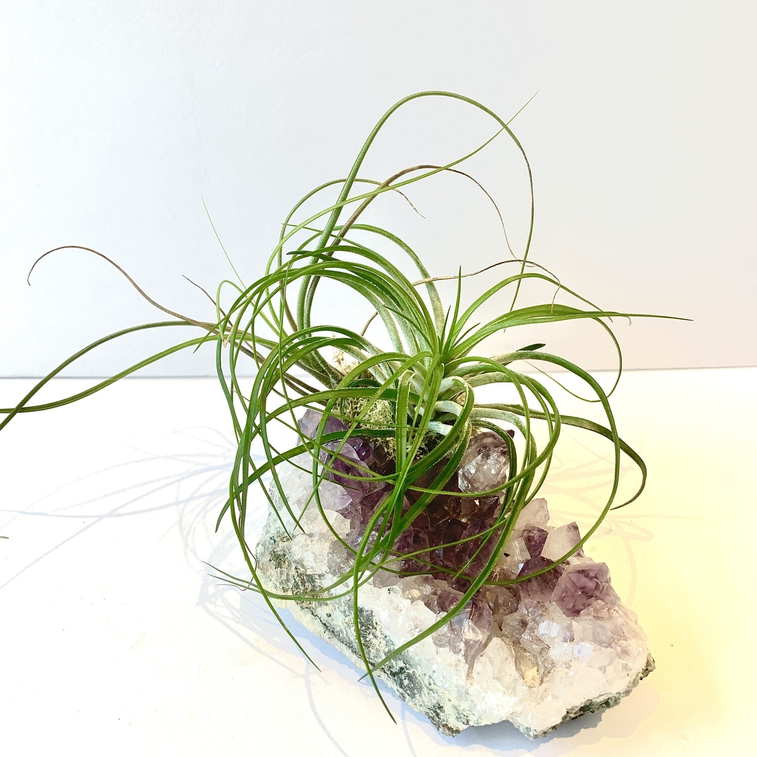DOS Amethyst Crystal x Air Plant Tillandsia Strica Green and Butzii
