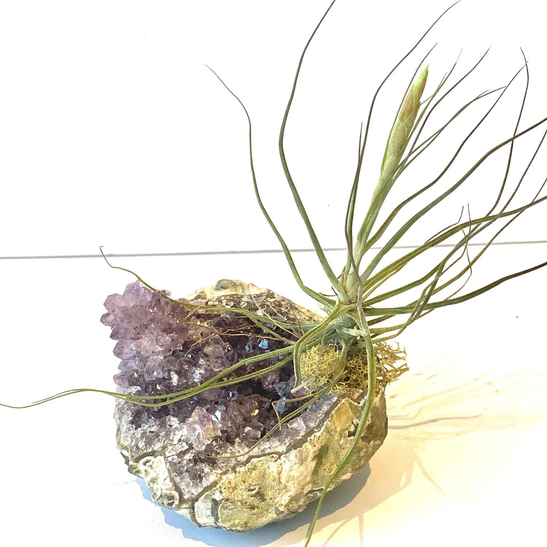 ENCRUSTED Amethyst Crystal x Air Plant Schiedeana