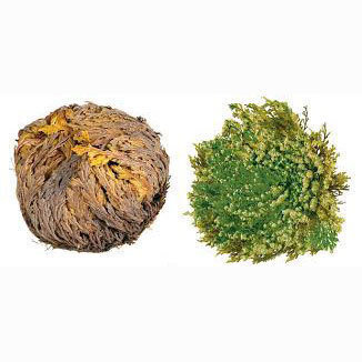 Resurrection Flower - Rose Of Jericho