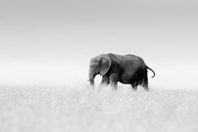 Éléphant solitaire, Cyril Guillaume - Tanzanie 2016