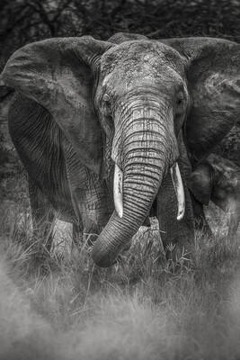 Éléphant - Tanzanie 2016