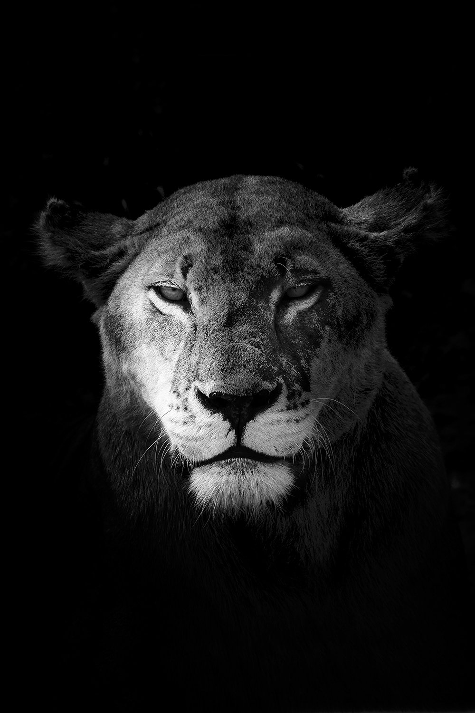 La lionne - Tanzanie 2016