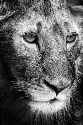 Lion - Tanzanie 2016