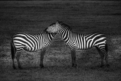 Drôles de zèbres - Tanzanie 2016