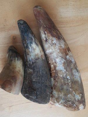 Beef Horn Medium