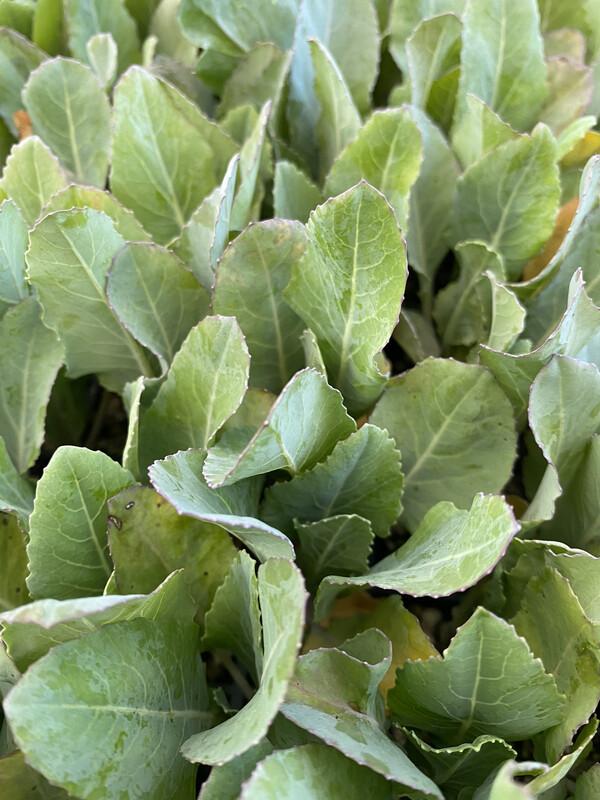 Cauliflower Seedlings