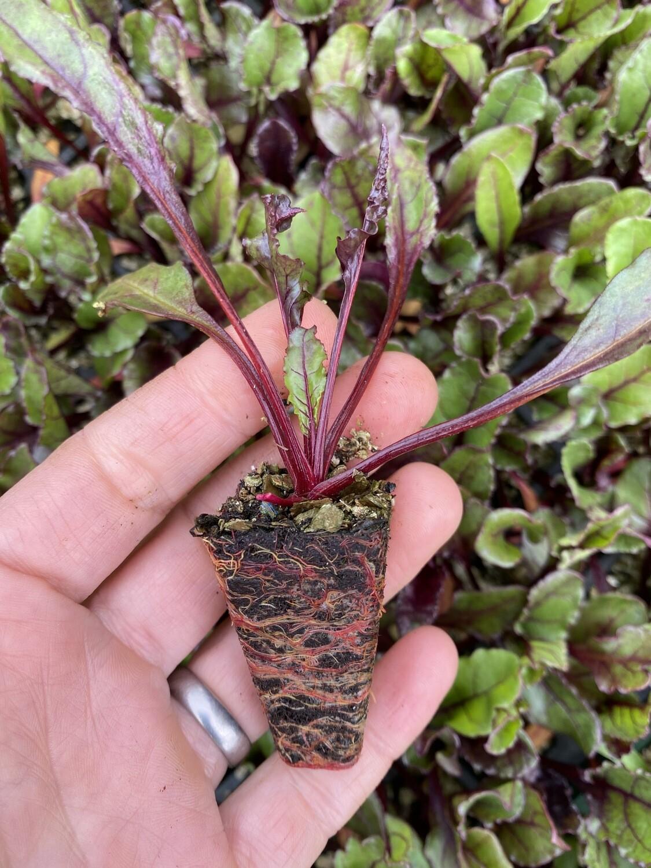 Red Beetroot Seedlings