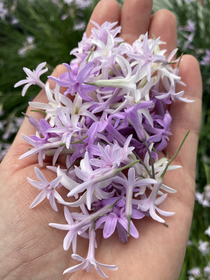 Edible Flowers - Society Garlic *Order by Tuesday for delivery same week