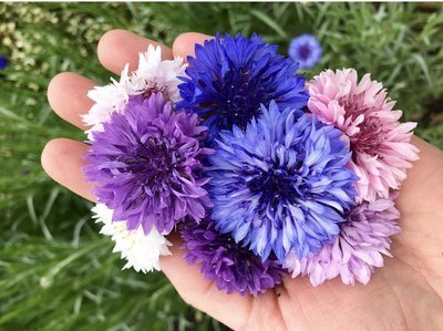 Cornflowers / Bachelor Buttons *Order by Tuesday for delivery same week