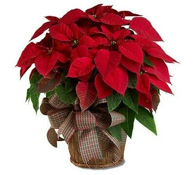 Planta Navidad -ROJA MED.