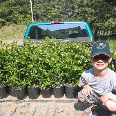 Pre-Order Polaris Blueberry Plants