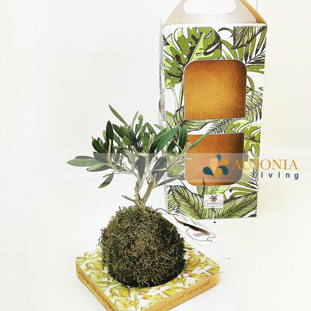 Kokedama Bonsai Olivo Europeo