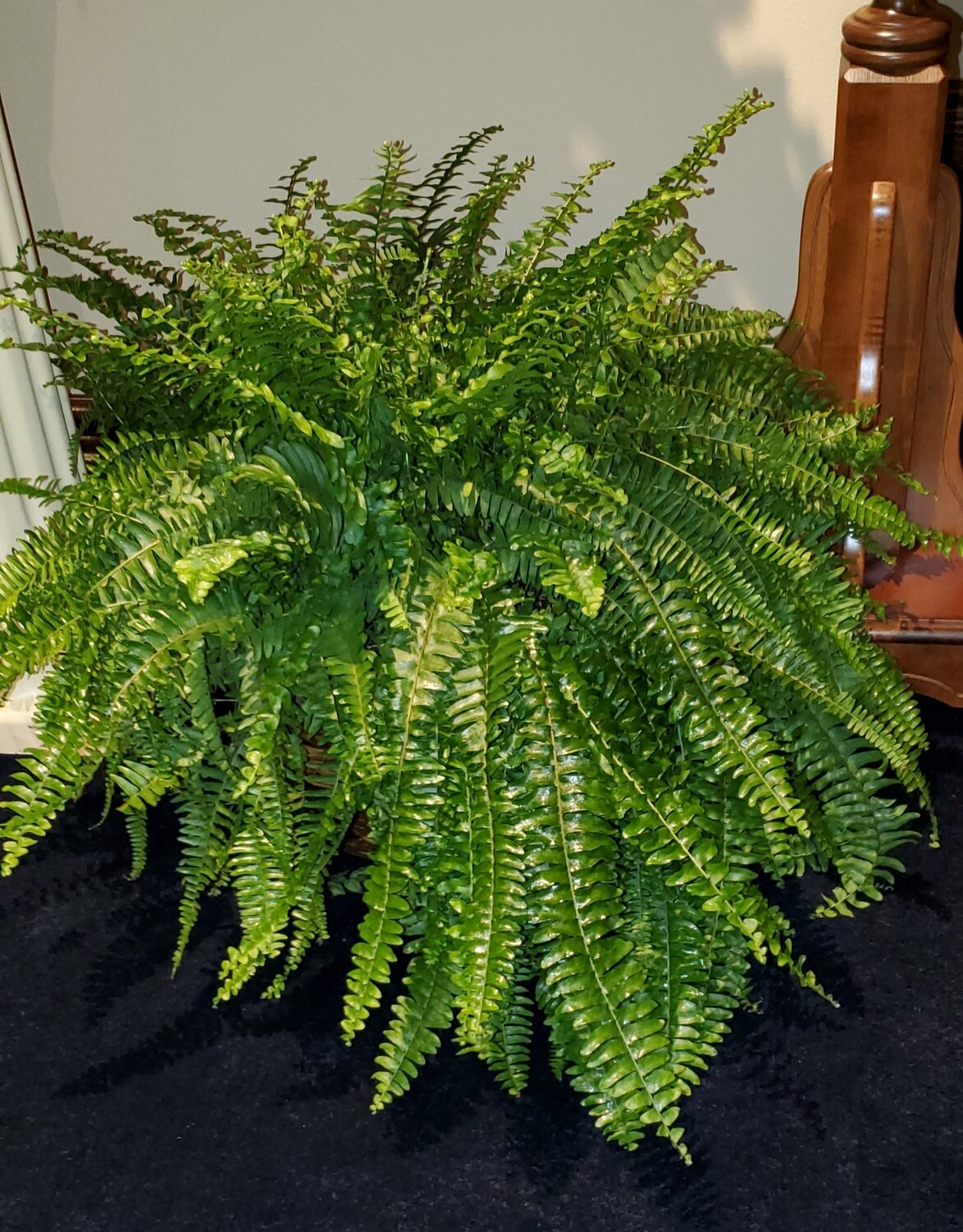 Fern in Basket
