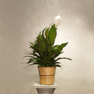 Medium Peace Plant