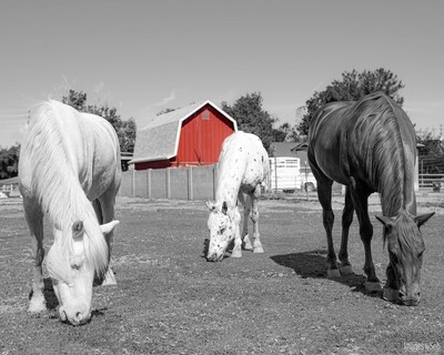 Red Barn - Lotus, Loki & Yamka  (Print size: 8x10)