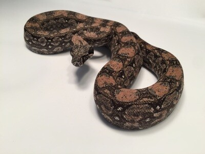 Male, 2018, 4th Generation Maxx Pink Argentine Boa, AR08-BCO-2918-Male-Litter 1
