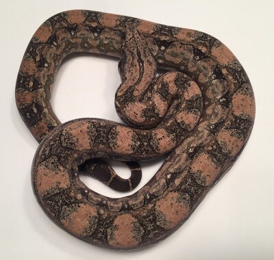 Male, 2018, 4th Generation Maxx Pink Argentine Boa, AR87-BCO-2018-Male-Litter 8