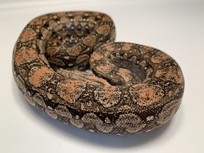 Female, 2018, 4th Gen Maxx Pink Argentine Boa, AR208-BCO-2018-Female-Litter 20